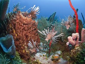 Many Lionfish (Pterois Volitans) and Giant Barrel Sponge (Xestospongia Muta), Roatan, Honduras by Antonio Busiello