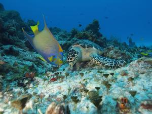 Sea Turtle (Chelonioidea) and Queen Angelfish (Holacanthus Ciliaris) Eating, Cozumel, Mexico by Antonio Busiello