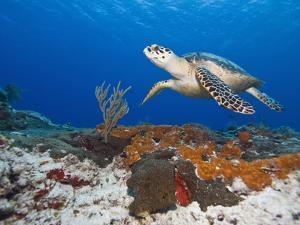 Sea Turtle (Chelonioidea), Cozumel, Mexico, Caribbean, North America by Antonio Busiello