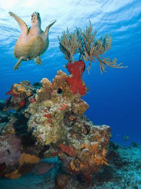 Sea Turtle (Chelonioidea) Swimming over the Coral, Cozumel, Mexico, Caribbean, North America by Antonio Busiello