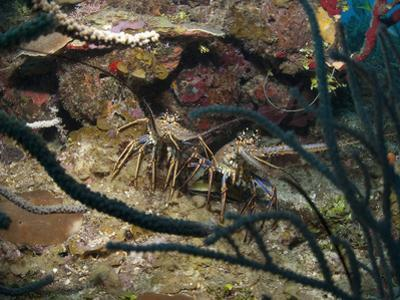 Spiny Lobsters, Roatan, Bay Islands, Honduras, Caribbean, Central America