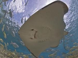 Stingray (Dasyatis Thetidis) from Below with the Sun Behind, Cozumel, Mexico, Caribbean by Antonio Busiello