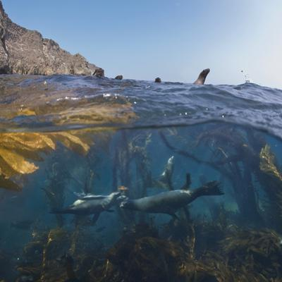 Underwater Photo of Kelp and Sea Lions, Anacapa, Channel Islands National Park, California, USA by Antonio Busiello
