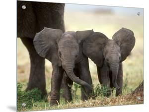 African Elephant Babies with Large Ears, Masai Mara, Kenya by Anup Shah