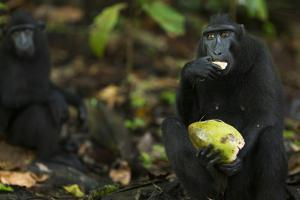Black Crested Macaque Female Feeding on a Coconut by Anup Shah