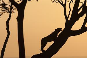 Lioness on a Tree at Dawn - Silhouette by Anup Shah