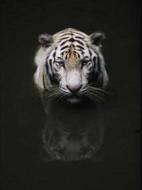 White Tiger Head Portrait Reflected in Water, India by Anup Shah