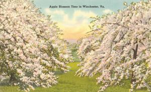 Apple Blossoms, Winchester, Virginia