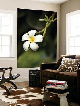 Frangipani Flower Detail by April Maciborka
