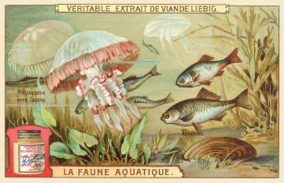 Aquatic Fauna, Jellyfish
