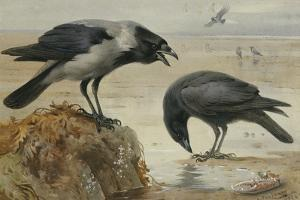 A Hooded Crow and a Carrion Crow, 1924 by Archibald Thorburn