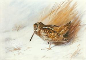 A Woodcock Among Reeds by Archibald Thorburn