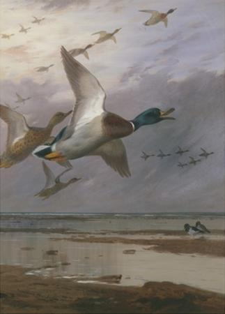Duck Rising by Archibald Thorburn