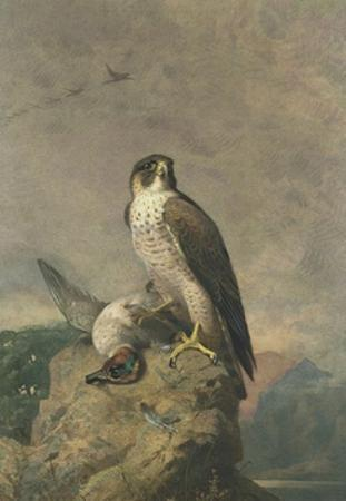 Peregrine and Teal by Archibald Thorburn