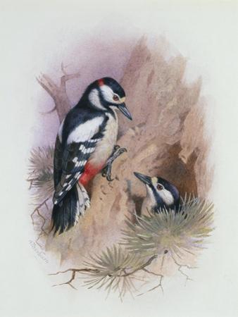 Pied Woodpecker by Archibald Thorburn
