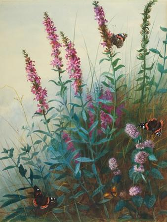Purple Loosestrife and Watermint, C.1910-20 by Archibald Thorburn