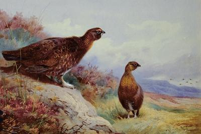 Red Grouse on the Moor, 1917 by Archibald Thorburn