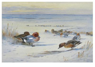 Widgeon in The Snow by Archibald Thorburn