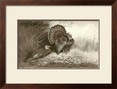 Wild Turkey by Archibald Thorburn