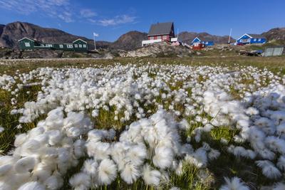 https://imgc.allpostersimages.com/img/posters/arctic-cotton-grass-eriophorum-scheuchzeri-flowering-in-sisimiut-greenland-polar-regions_u-L-PQ8QCN0.jpg?p=0