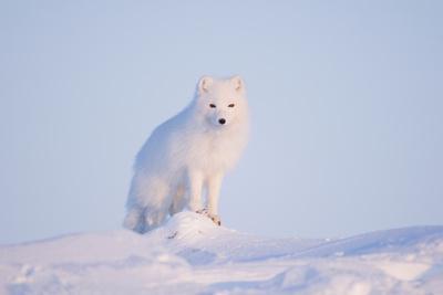 https://imgc.allpostersimages.com/img/posters/arctic-fox-adult-pauses-on-a-snow-bank-anwr-alaska-usa_u-L-PN6UDB0.jpg?artPerspective=n