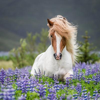 Horse Running by Lupines
