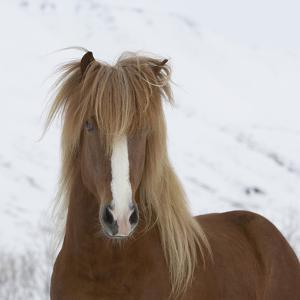 Icelandic Pony by Arctic-Images