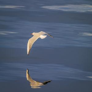 Seagull Flying over the Sea by Arctic-Images