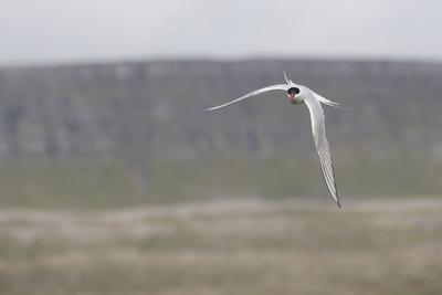 https://imgc.allpostersimages.com/img/posters/arctic-tern-sterna-paradisaea-flight_u-L-Q1EYBPL0.jpg?artPerspective=n