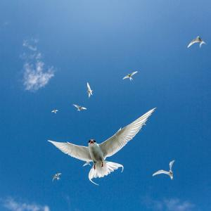 Arctic Terns Flying, Iceland