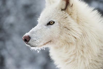 https://imgc.allpostersimages.com/img/posters/arctic-wolf-canis-lupus-arctos-montana-united-states-of-america-north-america_u-L-PWFRD60.jpg?p=0