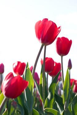 Red Tulips by ardni