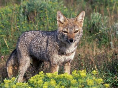 https://imgc.allpostersimages.com/img/posters/argentine-grey-fox-torres-del-paine-national-park-chile_u-L-P2OVJ80.jpg?p=0