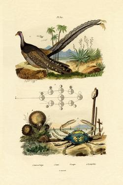 Argus Pheasant, 1833-39