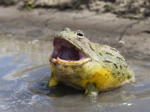 African Bullfrog (Pyxicephalus Adspersus) by Ariadne Van Zandbergen
