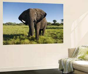 African Elephant (Loxodonta Africana Africana), Kapama Game Reserve by Ariadne Van Zandbergen