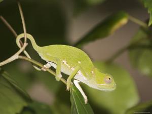 Flap-Necked Chameleon, Zanzibar Town, Zanzibar West, Tanzania by Ariadne Van Zandbergen