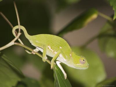 Flap-Necked Chameleon, Zanzibar Town, Zanzibar West, Tanzania