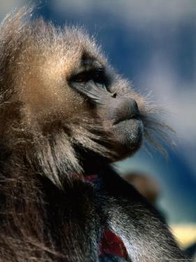 Gelada Monkey, Simien Mountains National Park, Amhara, Ethiopia by Ariadne Van Zandbergen