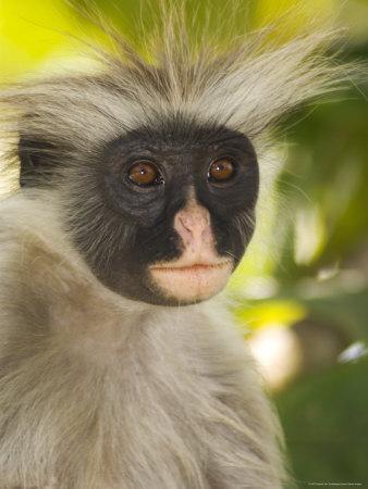 Kirk's Red Colobus Monkey, Jozani Forest, Zanzibar South, Tanzania