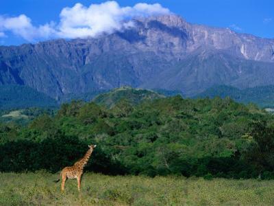 Lone Giraffe (Giraffa Camelopardalis) in Front of Mt. Meru, Mt. Meru, Arusha, Tanzania