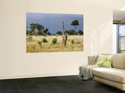 Maasai Giraffe (Giraffa Camelopardalis Tippelskirchi)