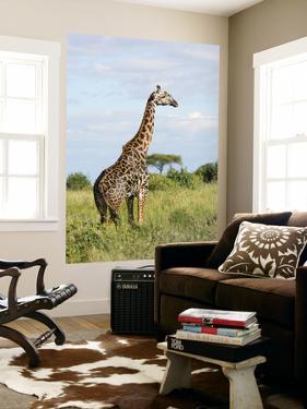Maasai Giraffe (Giraffa Camelopardalis Tippelskirchi by Ariadne Van Zandbergen