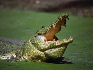 Nile Crocodile (Crocodylus Niloticus) at the Kachikaly Crocodile Pool, Bakau, Western, Gambia, The by Ariadne Van Zandbergen