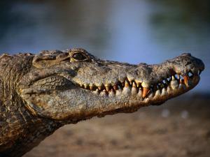 Nile Crocodile (Crocodylus Niloticus) in Profile, Paga, Ghana by Ariadne Van Zandbergen