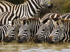 Plains Zebra, Serengeti National Park, Shinyanga, Tanzania by Ariadne Van Zandbergen