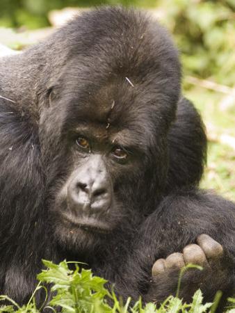 Silverback Mountain Gorilla in Parc National des Volcans, Rwanda
