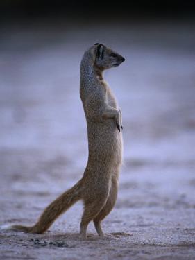 Yellow Mongoose, or Meerkat Standing on Its Hind Legs, Kgalagadi Transfrontier Park, South Africa by Ariadne Van Zandbergen