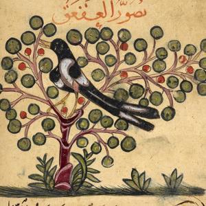 Magpie by Aristotle ibn Bakhtishu