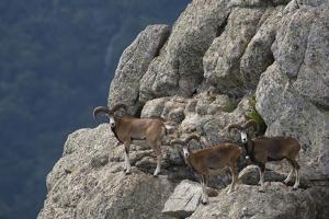 Mouflon (Ovis Musimon) Males on Rock Face, Parc Naturel Regional Du Haut-Languedoc, Caroux, France by Arndt